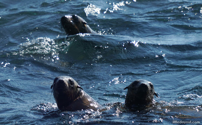 Seals in the water at Seal Rock.