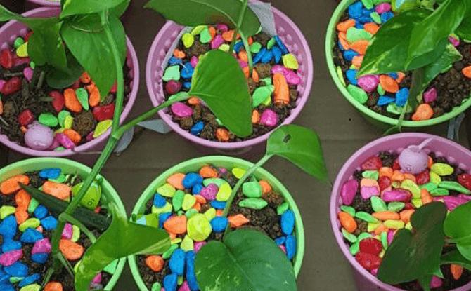 Gardenasia potting