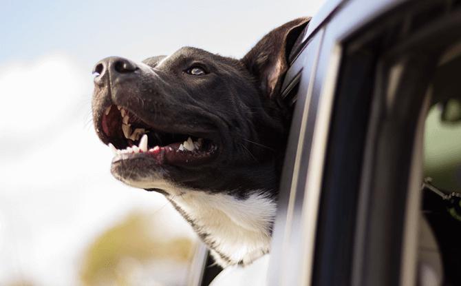 Generic dog car 1