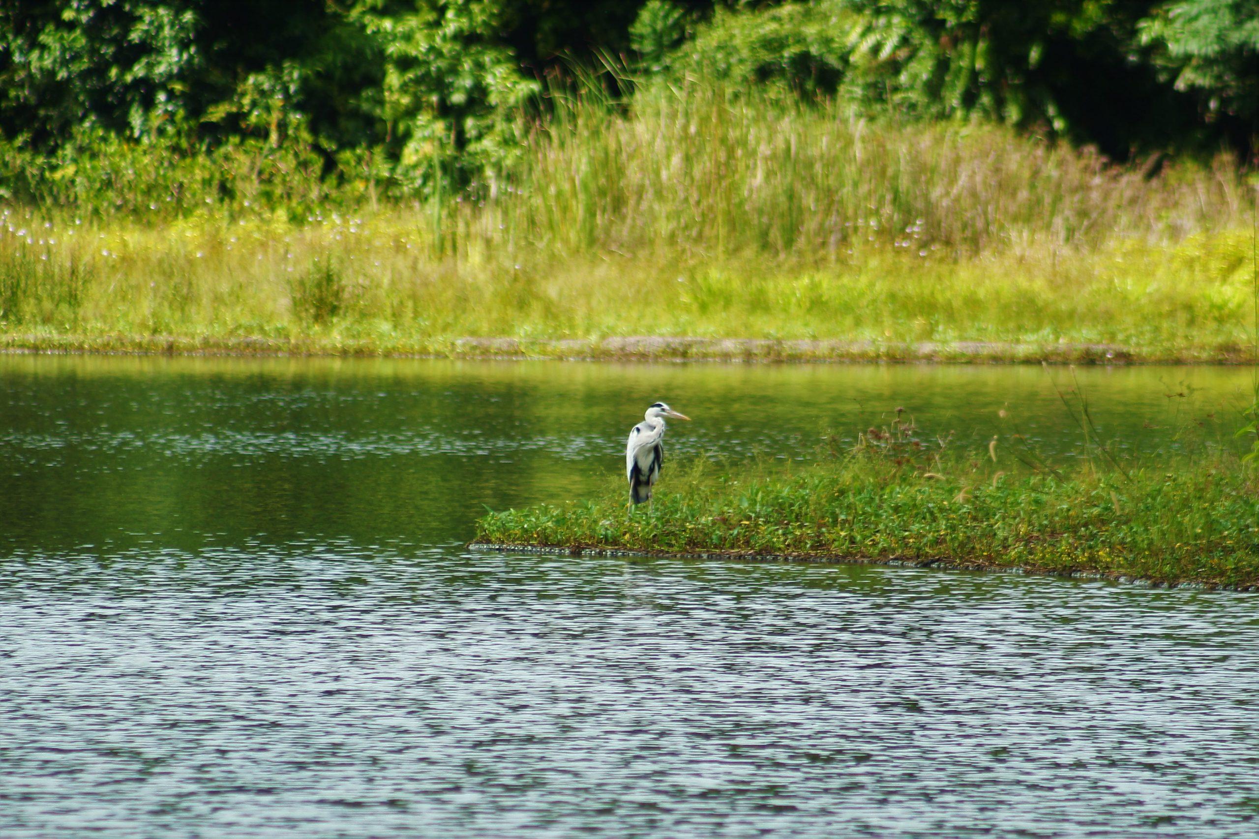 Pekan Quarry is a habitat for herons