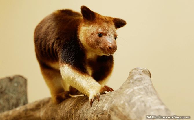Makaia at Singapore Zoo's Goodfellow's Tree Kangaroos Exhibit