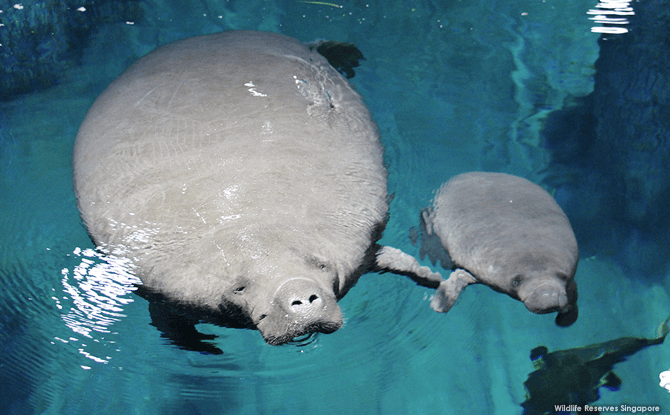 Manatee Madness, River Safari