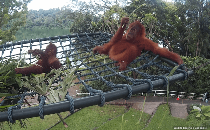 Sumatran orangutan Ah Meng (extreme right) chills out in her new free-ranging area overlooking the Upper Seletar Reservoir
