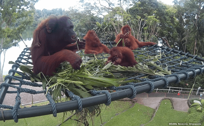 New Free-ranging Area for Orangutans at Singapore Zoo