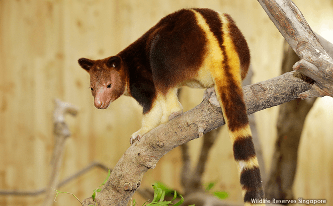 Nupela-tree-kangaroo