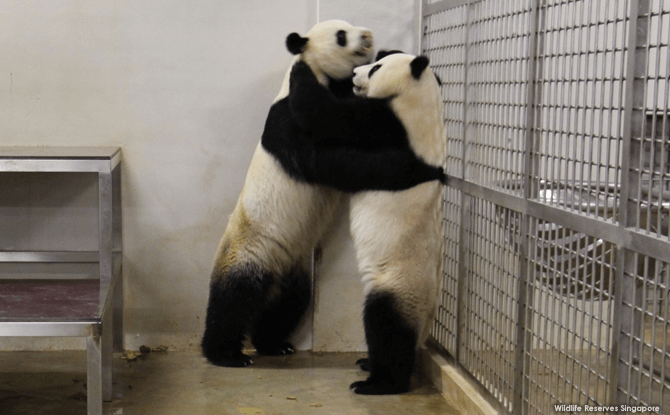 Kai Kai and Jia Jia - Panda Mating 2017