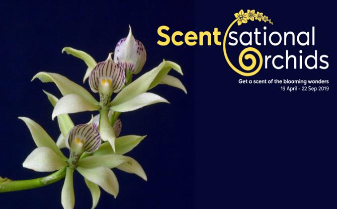 Scentsational Orchids