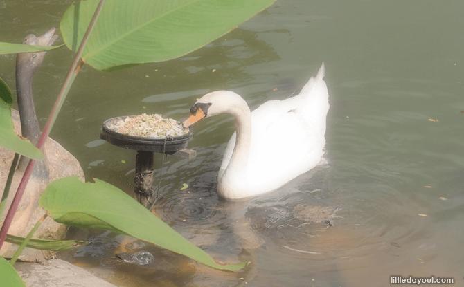 Swan at Singapore Botanic Gardens' Swan Lake