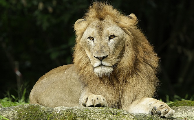 Singapore Zoo African Lion_WRS
