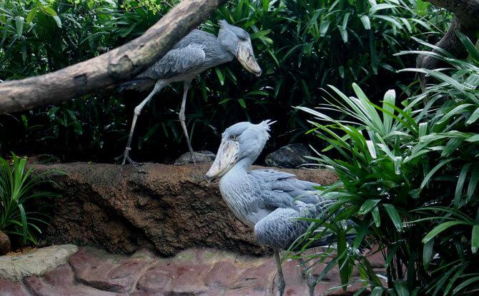 Jurong Bird Park Shoebills