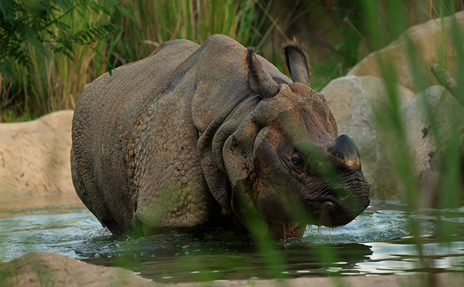 4-year-old male Indian rhino Newari takes a dip in the pool the new exhibit at Night Safari. The exhibit comes with a large central pool and smaller mud pools for the water-loving rhinos to wallow and keep cool.