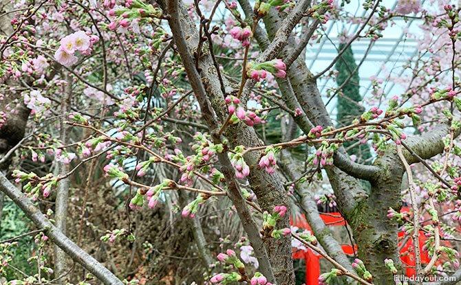 When are the sakura in bloom at Sakura Matsuri 2020, Gardens by the Bay