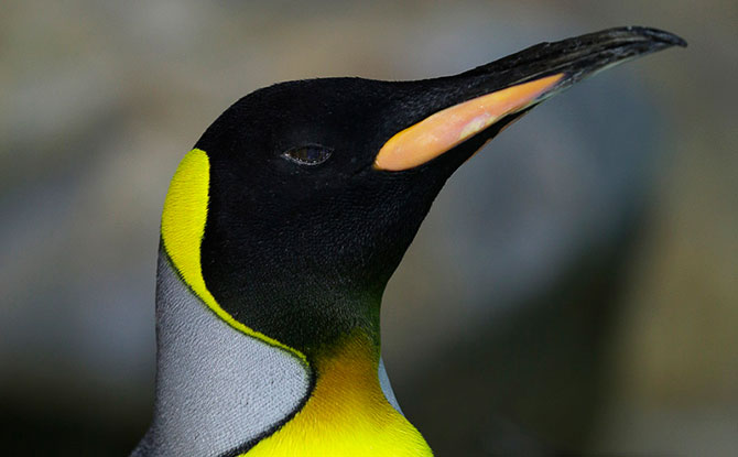 Penguins Show Their True Colours At Jurong Bird Park During the Year-End Holidays 2018