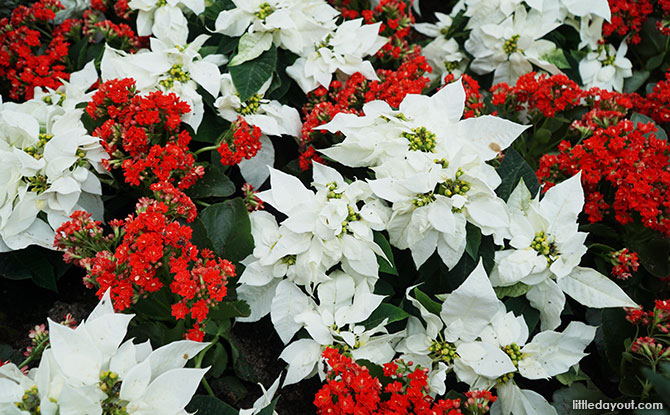 Different variety of Poinsettias
