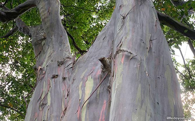 Mindanao Gum: Rainbow Eucalyptus Tree At Katong Park