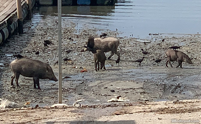 Learn About Wild Boars In Singapore At An NParks Online Webinar, 19 June 2021