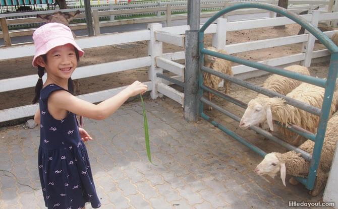 Feeding sheep in Pattaya