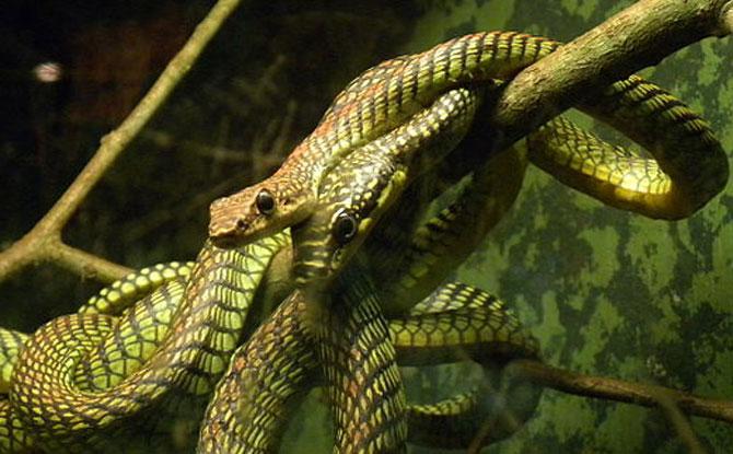 Paradise tree snakes