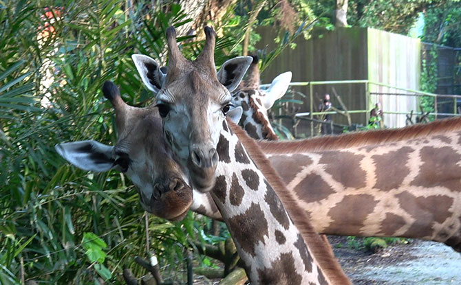 Two Giraffes Have Joined the Herd At Singapore Zoo: See Them At Wild Africa