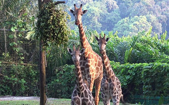 Rothschild's Giraffes at Singapore Zoo