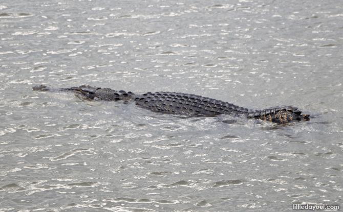 Crocodile at Sungei Buloh Wetland Reserve