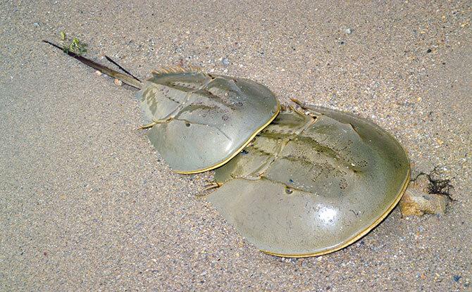 Horseshoe Crab - Marine Life Along Singapore's Shores