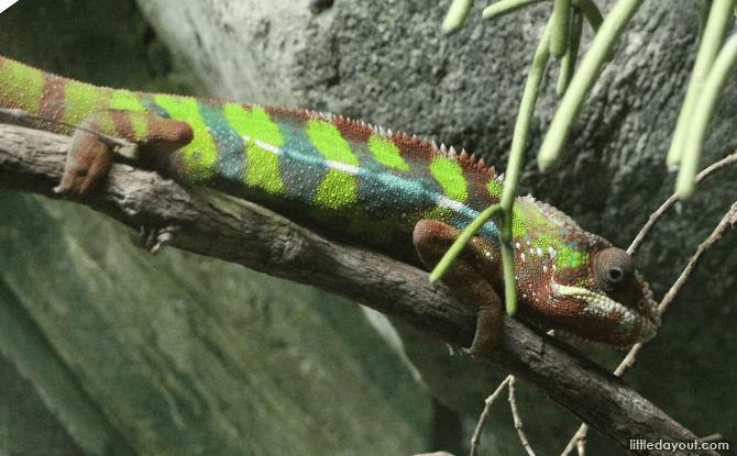Panthar Chameleon