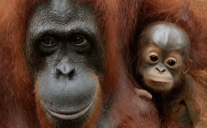 Bornean orangutan baby, Khansa, was born in April 2017.