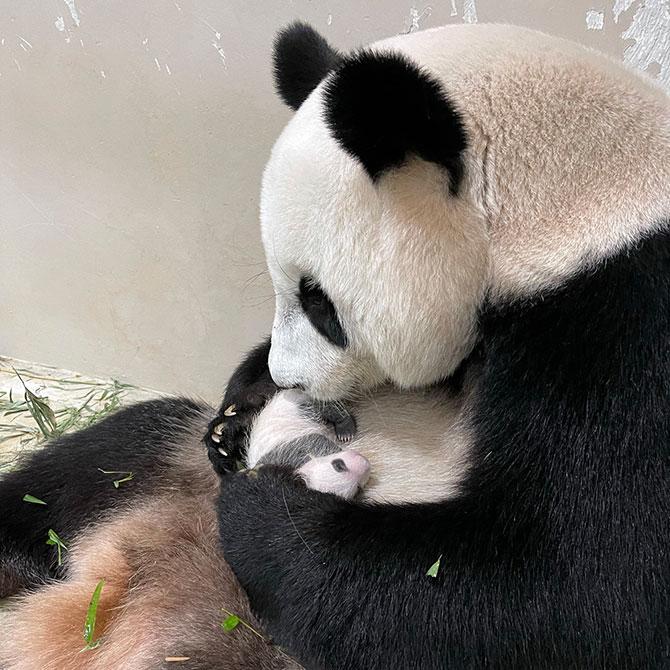 Jia Jia and the Male Panda Cub's Progress
