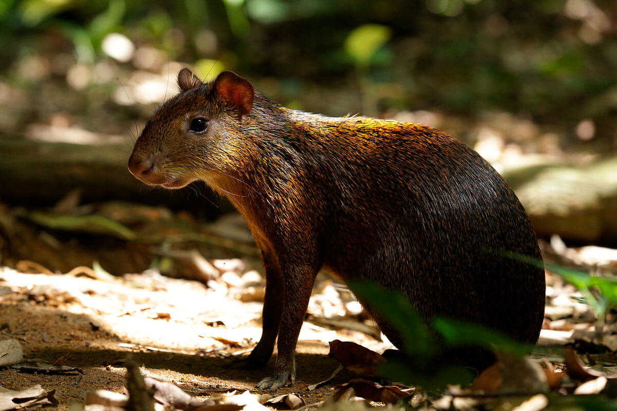 The agouti at River Safari's One Upon a River Presentation