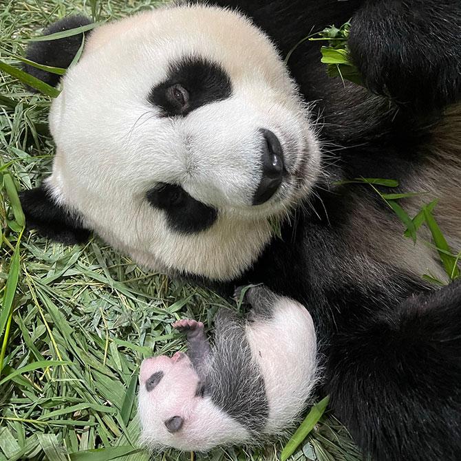 Baby Boy Panda in Singapore