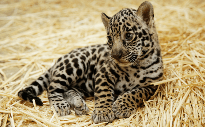 Jaguar cub - Animal Births in 2017