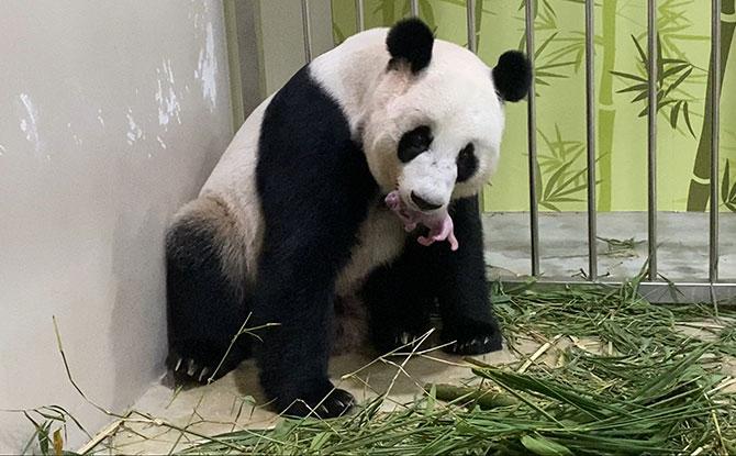River Safari Welcomes First Giant Panda Baby: Kai Kai & Jia Jia Are Parents To A New Cub