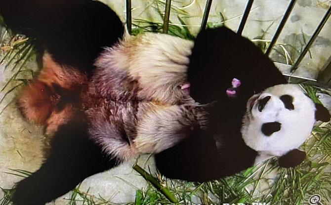 Kai Kai and Jia Jia are New Parents to a Panda Baby