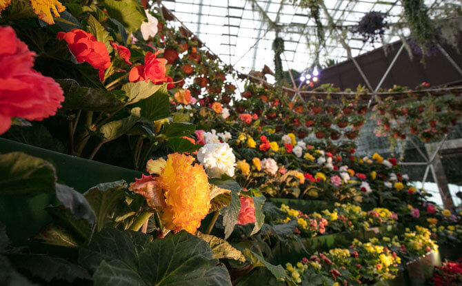 Begonia Brilliance at Gardens by the Bay: Brimming With Blooming Begonias