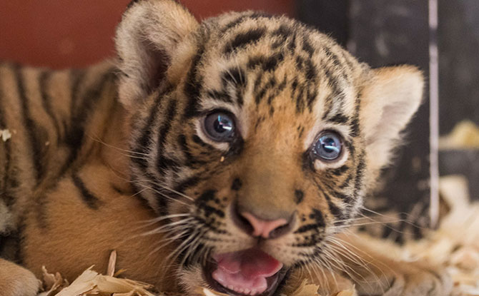 Close To 400 Animals Babies Arrived At Singapore's Wildlife Parks In 2020, Including A Pair Of Tiger Twins