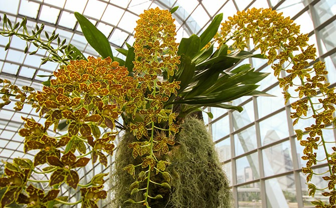 Orchid Plant At Gardens By The Bay To Be Awarded Highest Accolade From Orchid Society Of South East Asia