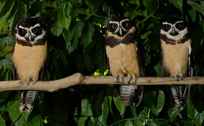 Spectacled Owls at Night Safari