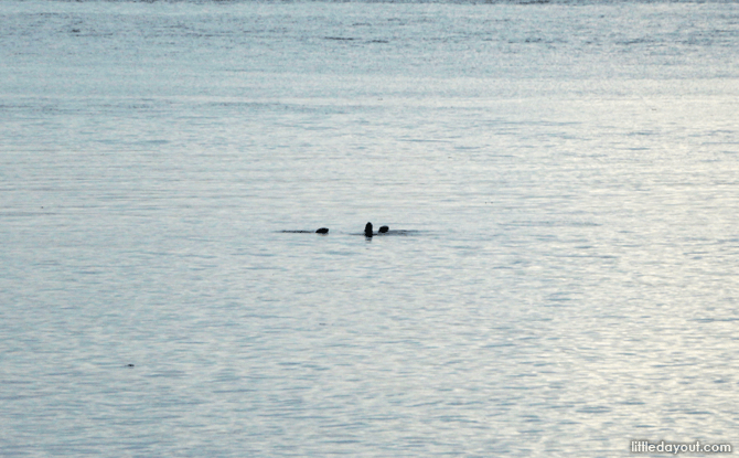 Otters spotted in the waters off Sungei Buloh Wetland Reserve