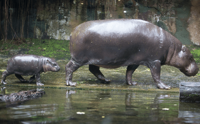 "Abina the Pgymy hippo (left) whose name means ""born on Tuesday""."