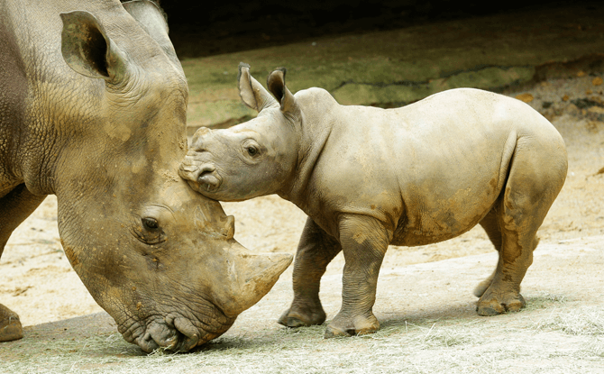 White rhino calf Oban's name means 'king' in the African Yoruba language.