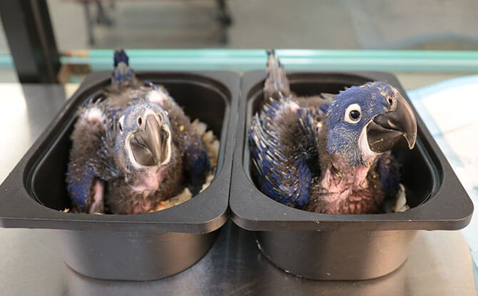 Hyacinth macaw hatchlings - Jurong Bird Park
