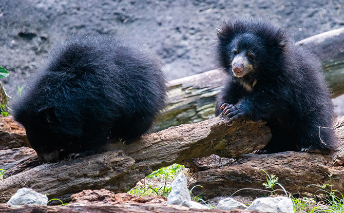Sloth Bear cub twins. Image: Wildlife Reserves Singapore.
