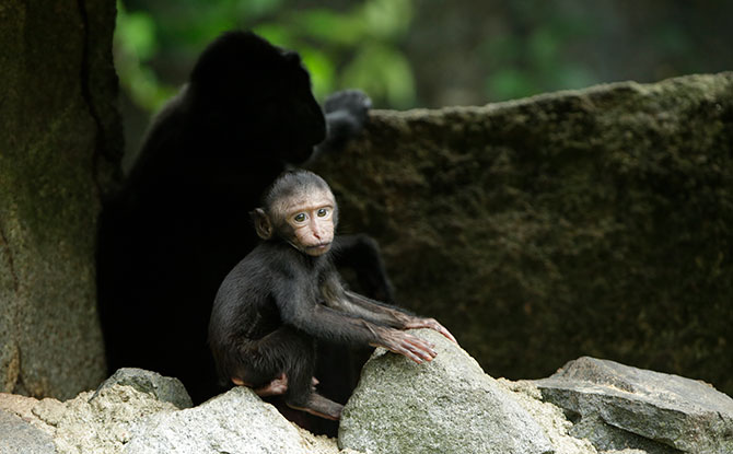 Celebes Crested Macaque. Image: Wildlife Reserves Singapore.
