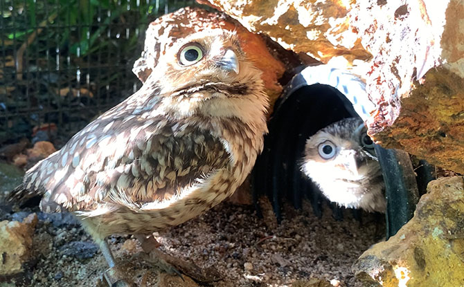 A parent burrowing owl with its chick. Image: Wildlife Reserves Singapore
