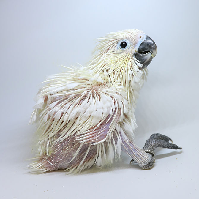 A 36-day old white cockatoo