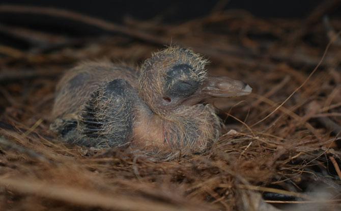 Santa Cruz Ground-dove chick