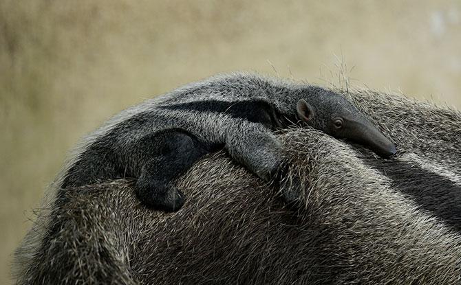Baby Giant Anteater. Image: Wildlife Reserves Singapore.
