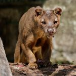 Fossa at Singapore Zoo