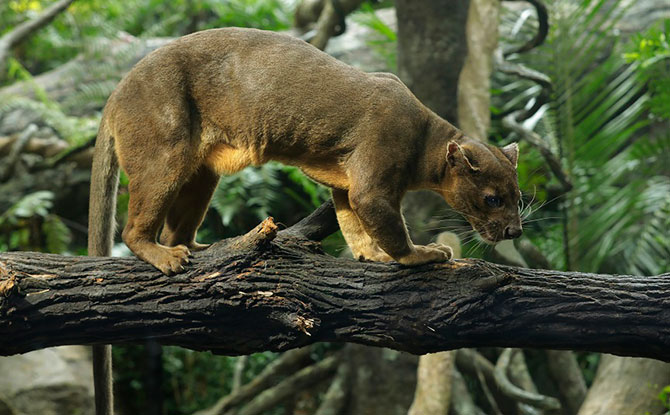 fossa exhibit at Singapore is designed to replicate the foosa's natural habitat.